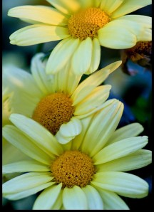 cropped-5047526247_59aac1aa02yellowdaisy18.jpg