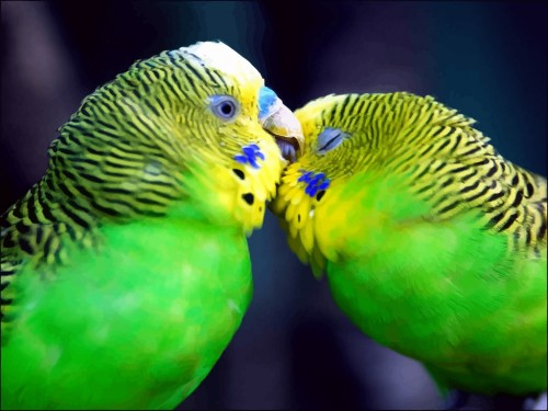 Green-Love-Birds-500x375