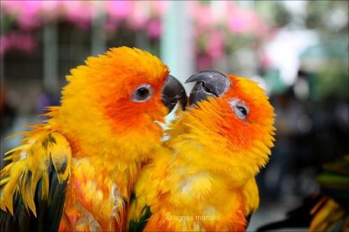 Yellow-Love-Birds-500x333